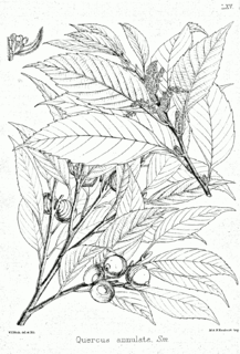 <i>Quercus glauca</i> species of plant