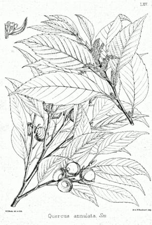 Quercus glauca - Image: Quercus glauca Bra 65