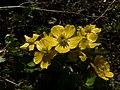 Ranunculus eschscholtzii 21673.JPG