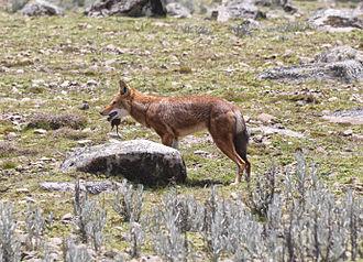 Ethiopian wolf - Southern Ethiopian wolf feeding, Bale Mountains.