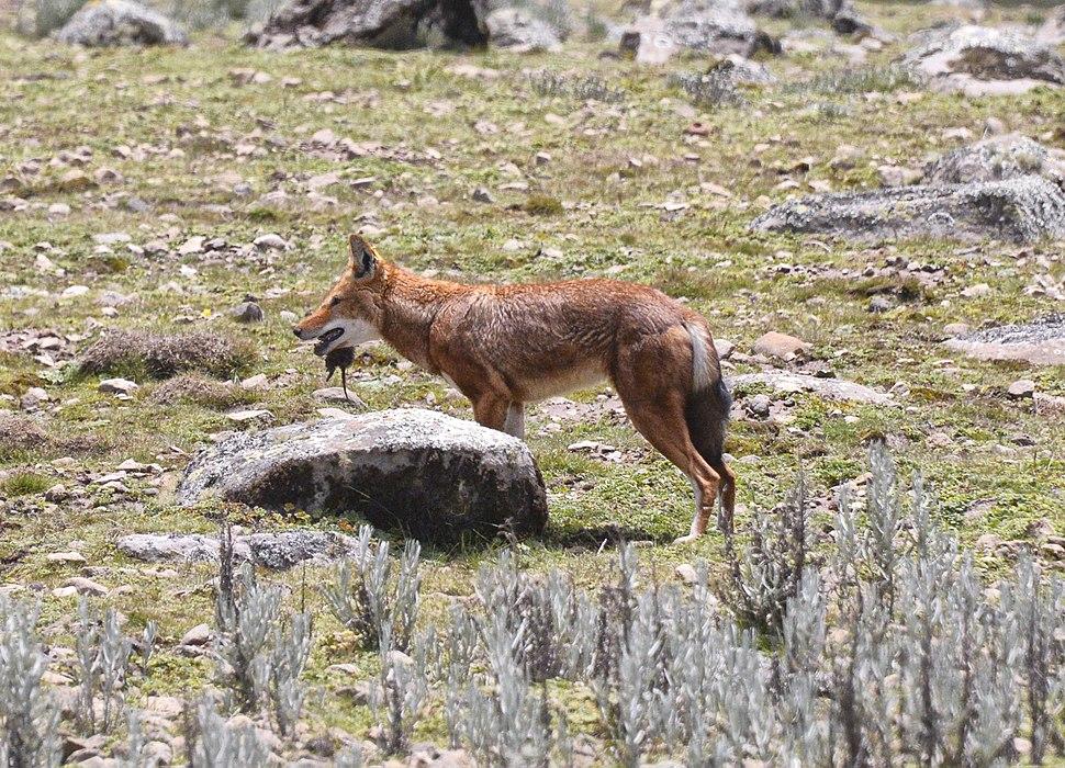 Rare Ethiopian Wolf Feeding, Bale, Ethiopia (9681610337)