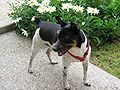 Rat Terrier Image 001.jpg
