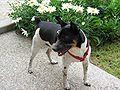Rat Terrier Image 001.jpg