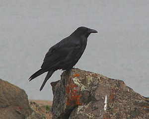 Common Raven (Corvus corax), Kugluktuk, Nunavu...