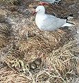Red-Billed Gull-Nueva Zelanda2.jpg