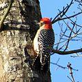 Red-bellied Woodpecker (17157209182).jpg