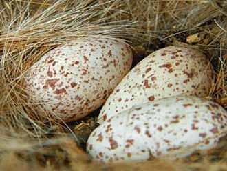 Red-billed oxpecker - Image: Red billed Oxpecker Eggs JM