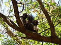 Red-fronted Brown Lemur Berenty Madagascar - panoramio.jpg
