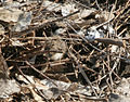 Red-wattled Lapwing (Vanellus indicus) chick W2 IMG 1065.jpg