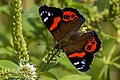 Red Admiral Butterfly at Zealandia.jpg