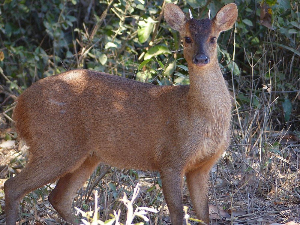 The average litter size of a Red brocket is 1