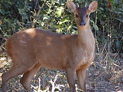 Red Brocket (Mazama americana) male (28091090800).jpg