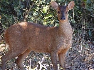 Red brocket species of mammal