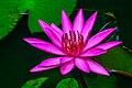 Red Manel Flower.jpg