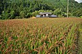 Red Rice Paddy field in Japan 011.jpg