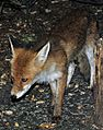 Red fox Vulpes vulpes.jpg