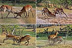 Red lechwe (Kobus leche leche) males fighting, composite.jpg