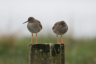 Common redshank - Two redshanks on a stone pillar