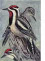 Reed-yellow-bellied-sapsucker.png