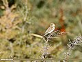 Reed Bunting (Emberiza schoeniclus) (38284608661).jpg