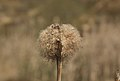 Reed pod in Woodside Quarry, Ireland Wood, Leeds. W.Yorkshire..jpg