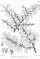 Reptonia buxifolia Bra34.png