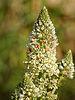 Reseda alba (flower spike).jpg