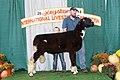 Reserve Champion Natural Colored Ram (Open Show) (44505793944).jpg