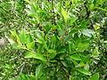 Rhamnus crenulata kz3.JPG