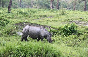 Rhino at Jaldapara.jpg