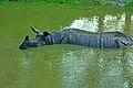 Rhino in a pond at Jaldapara.jpg