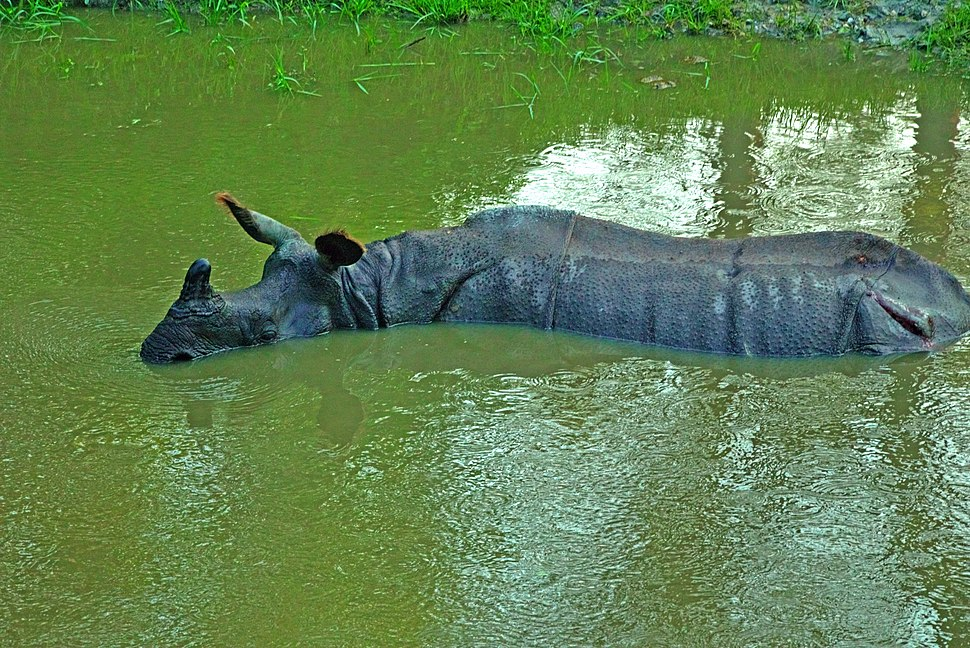 Rhino in a pond at Jaldapara