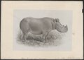 Rhinoceros bicornis - 1869 - Print - Iconographia Zoologica - Special Collections University of Amsterdam - UBA01 IZ22000185.tif