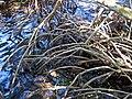 Rhizophora mangle (red mangroves) (Sanibel Island, Florida, USA) 3 (23817044583).jpg