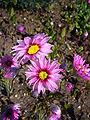 Rhodanthe manglesii 'timeless rose' 2007-06-02 (flower).JPG