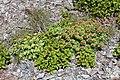 Rhodiola rosea (female and male s2).jpg