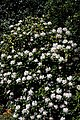 Rhododendron 'Cunningham's White' City of London Cemetery 1.jpg
