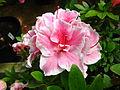 Rhododendron 'Inga' 01.JPG