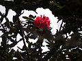 Rhododendron arboreum subsp. nilagiricum (6370044817).jpg