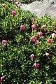 Rhododendron campylogynum kz02.jpg