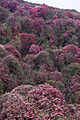 Rhododendron forest at Ghorepani (4525879748).jpg