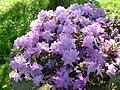 Rhododendron impeditum 5.JPG