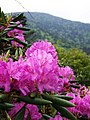 Rhododendron on AT - panoramio.jpg
