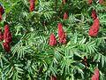 RhusTyphina Flowers.jpg