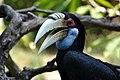 Rhyticeros undulatus -Bali Bird Park, Indonesia -female-8a.jpg