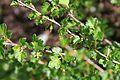 Ribes rotundifolium 233-007.jpg