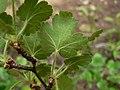 Ribes viscosissimum 15278.JPG