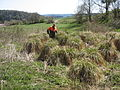 Rispen-Segge (Carex paniculata) NSG Kartmecketal.JPG