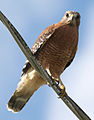 Rkinch red-shouldered hawk.jpg