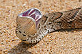 Roadkill - Puff Adder (Bitis arietans) frozen in agony (16307813567).jpg